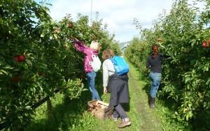 Apfelpflücken