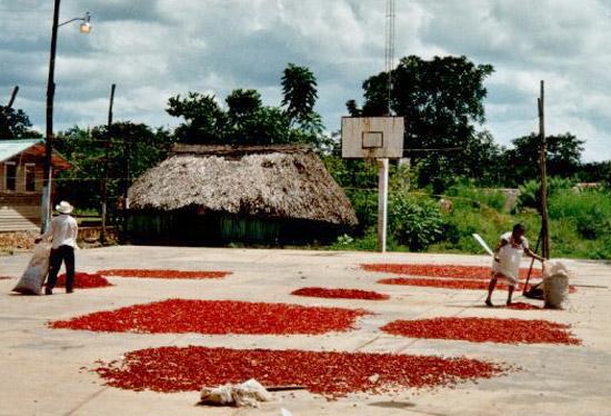 Chili-Ernte in der Zona Maya